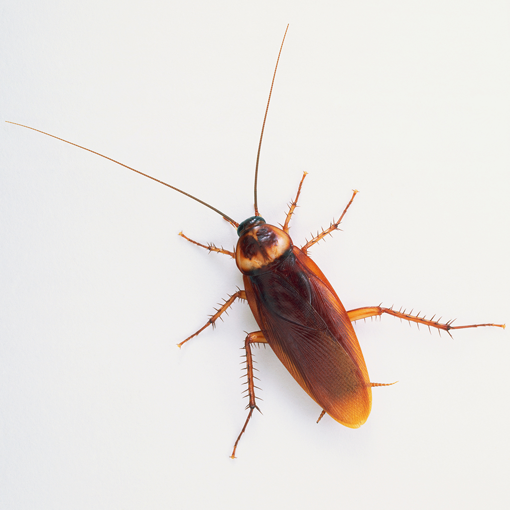 'Cockroach Milk' Billed as the Superfood of the Future