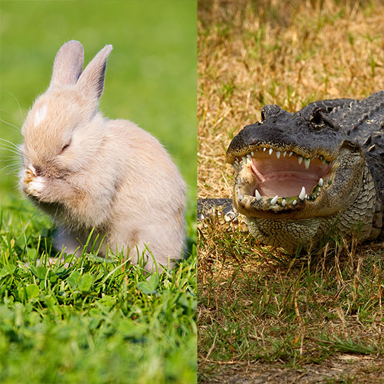 FWX BUNNY ALLIGATOR