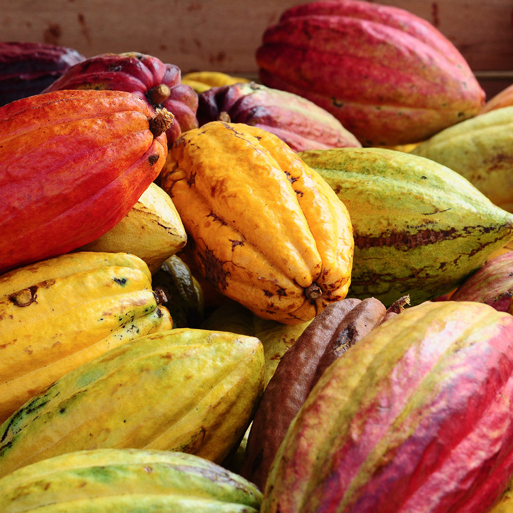 Cacao, in its pre-chocolate state.
