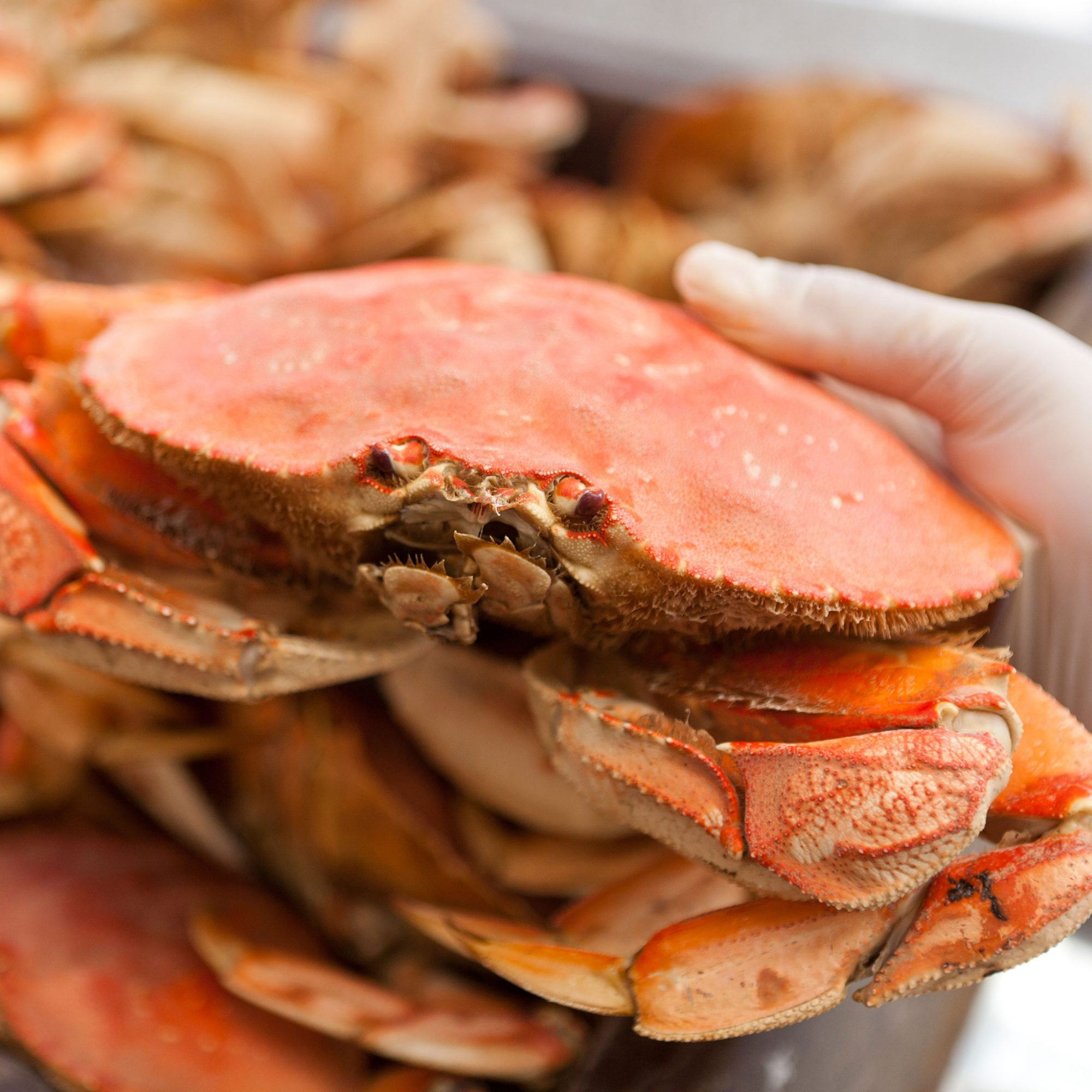 Climate Change May Be Coming for Our Dungeness Crabs
