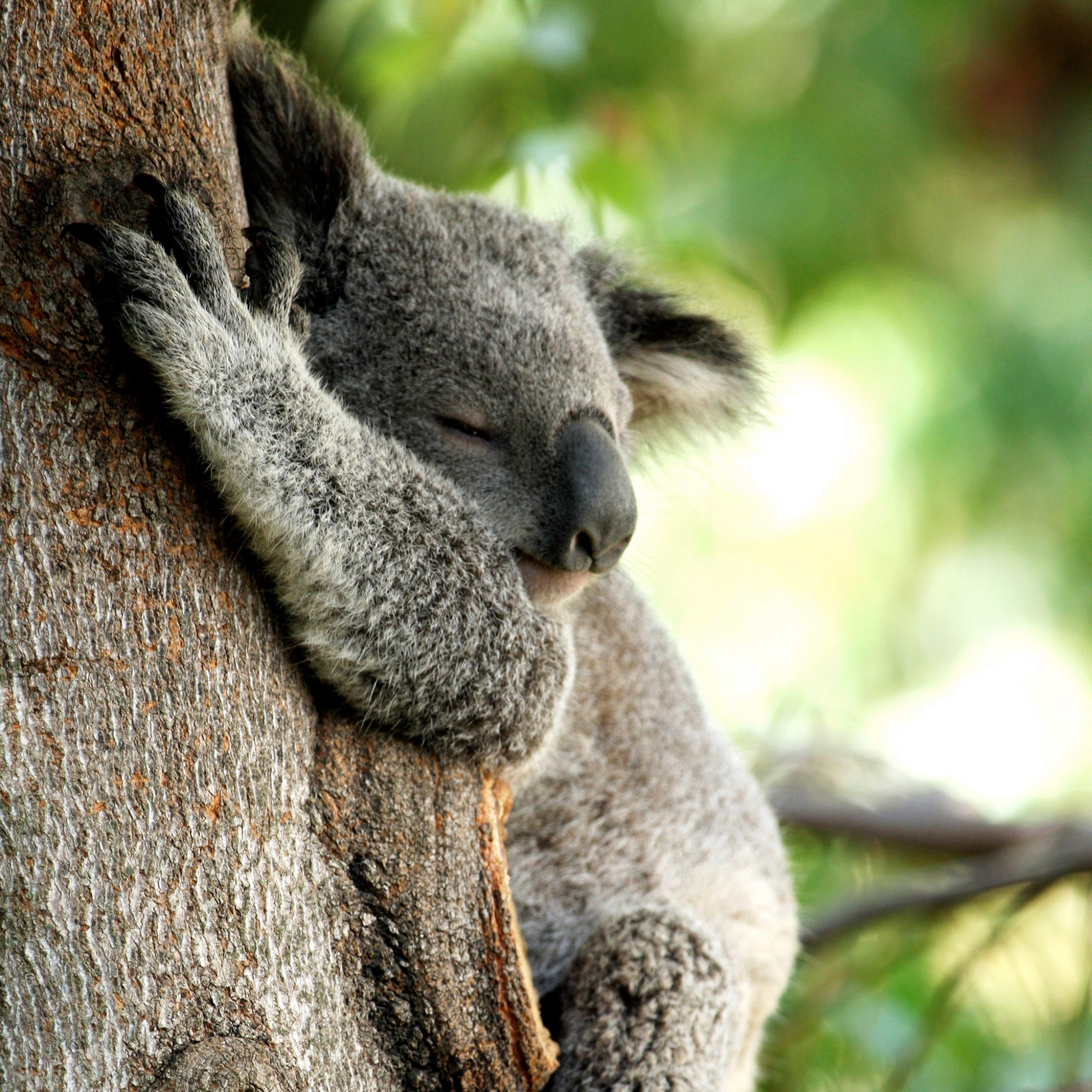 FWX KOALA HUGGING TREES