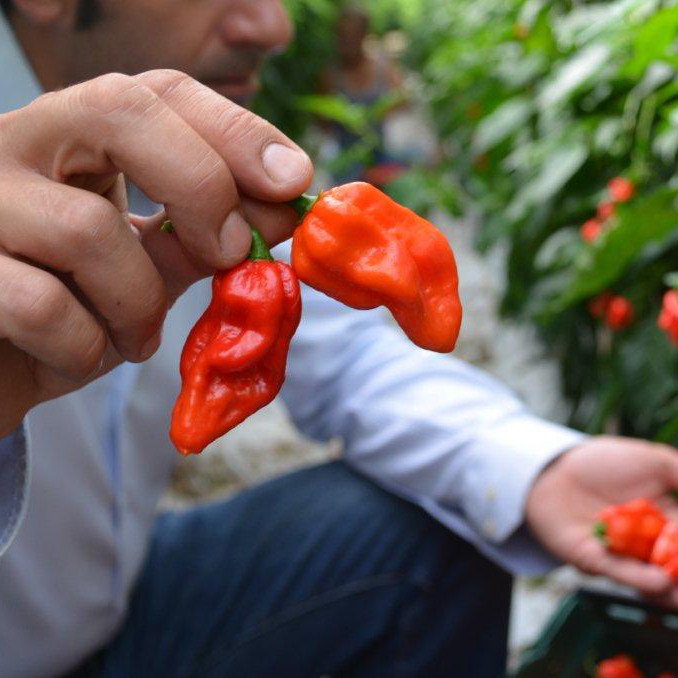 FWX KOMODO DRAGON PEPPER 1