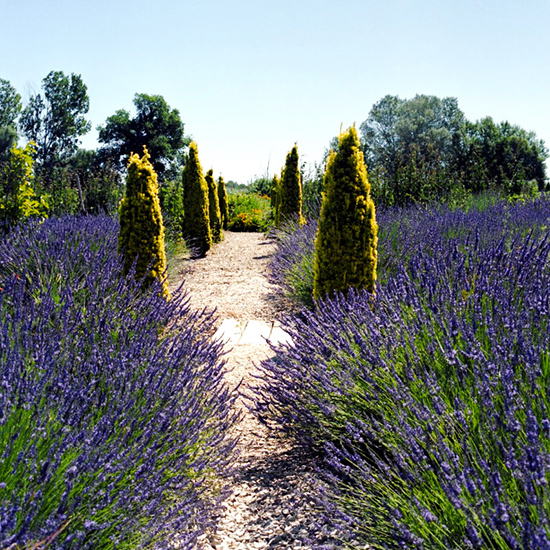 Breathe in the lavender fields in Provence, France.