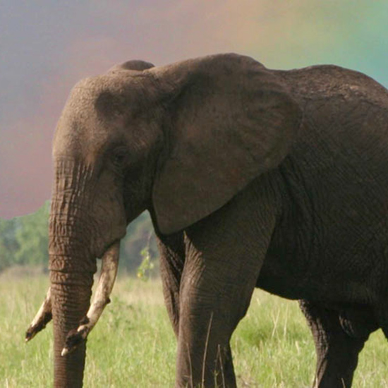 See a Real Live Elephant on Safari