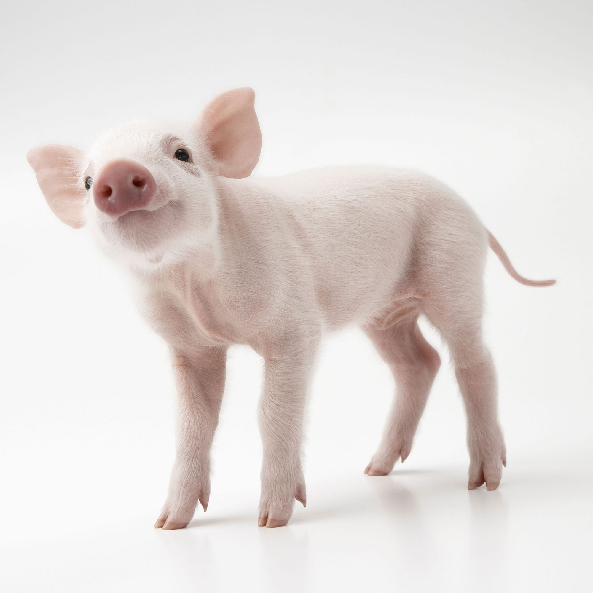 You Will Be Overrun with Cute, Miniature Pigs at the Pignic