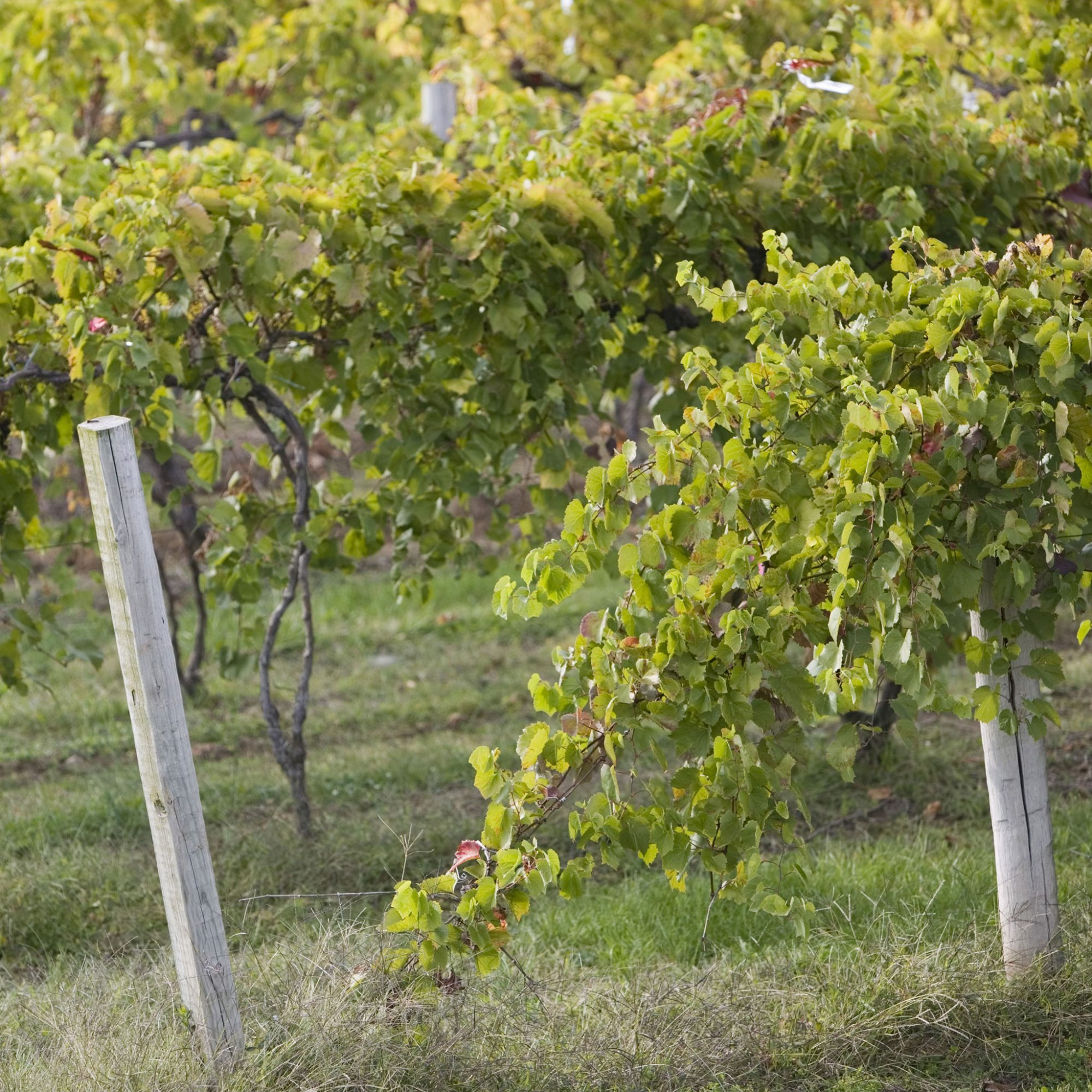 The Fascinating History of America's Oldest Native Grape