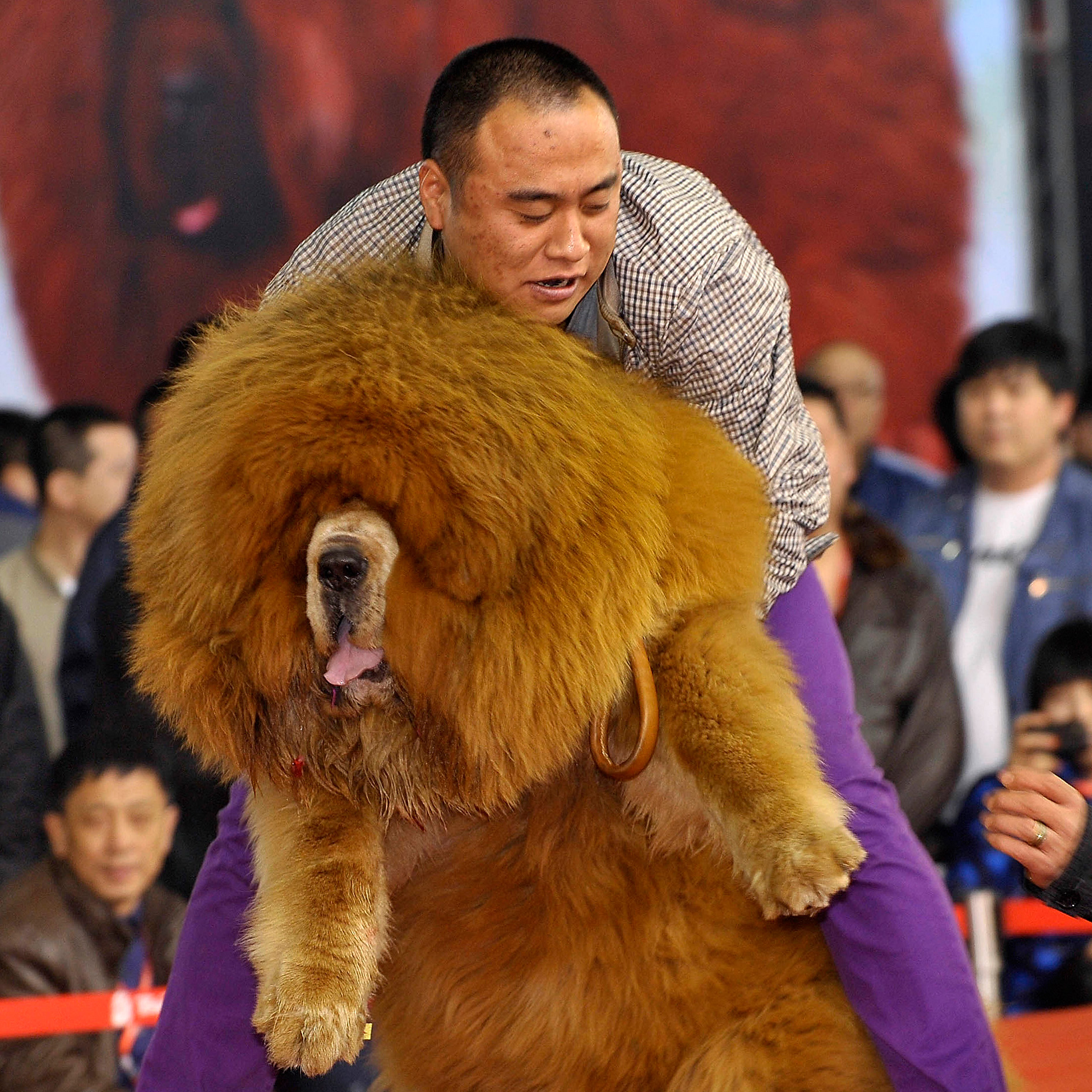 FWX WHAT YOU MISSED TIBETAN MASTIFF