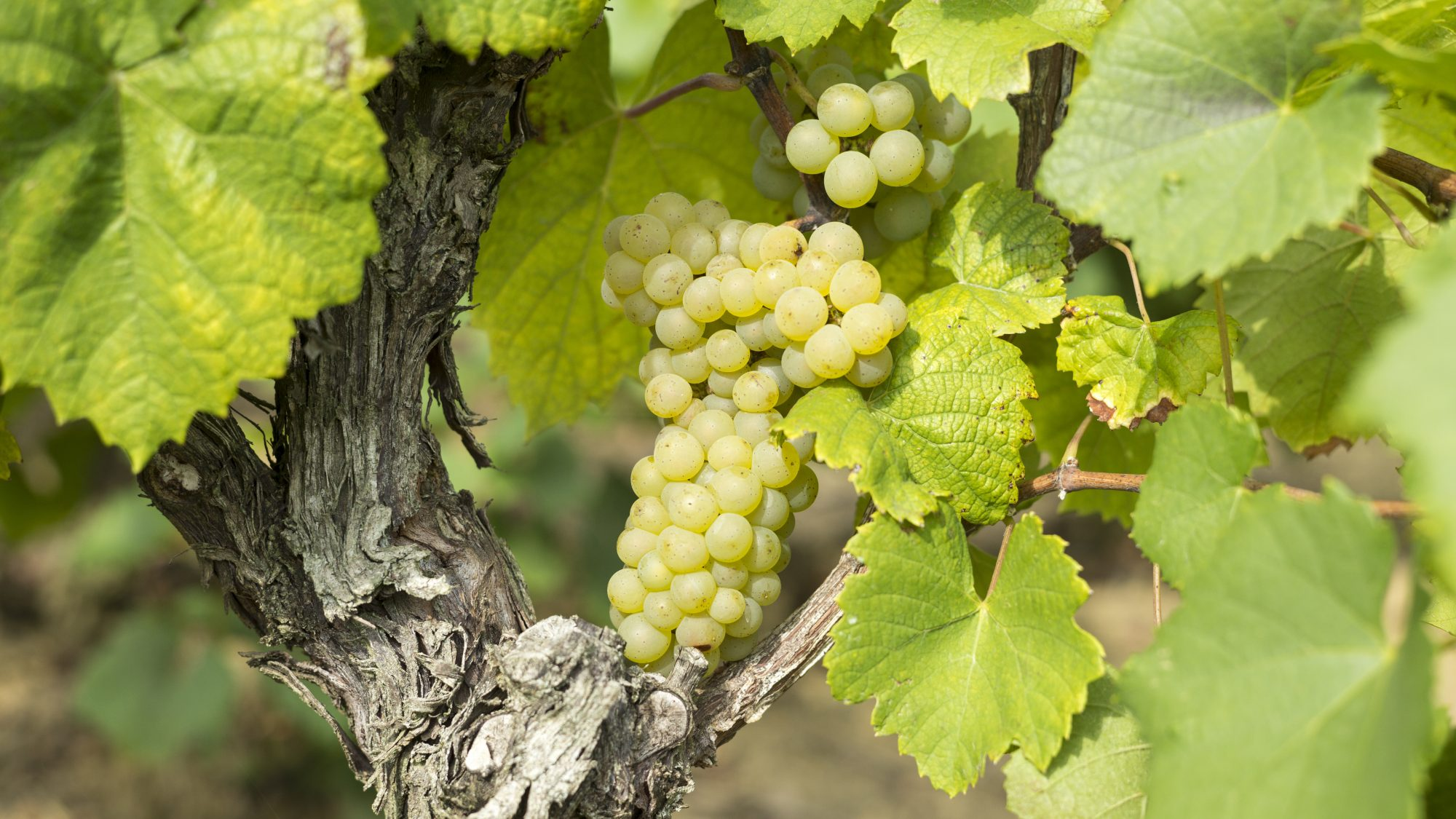 FRANCE, SEPTEMBER 11:   Bunches of ripe Muscadet grapes on ancient vine at vineyard Route Touristique du Vignobles Nantais on September 11, 2015 in Loire Valley, France.  (Photo by Tim Graham/Getty Images)