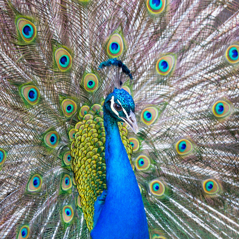Bronx Zoo, peacock