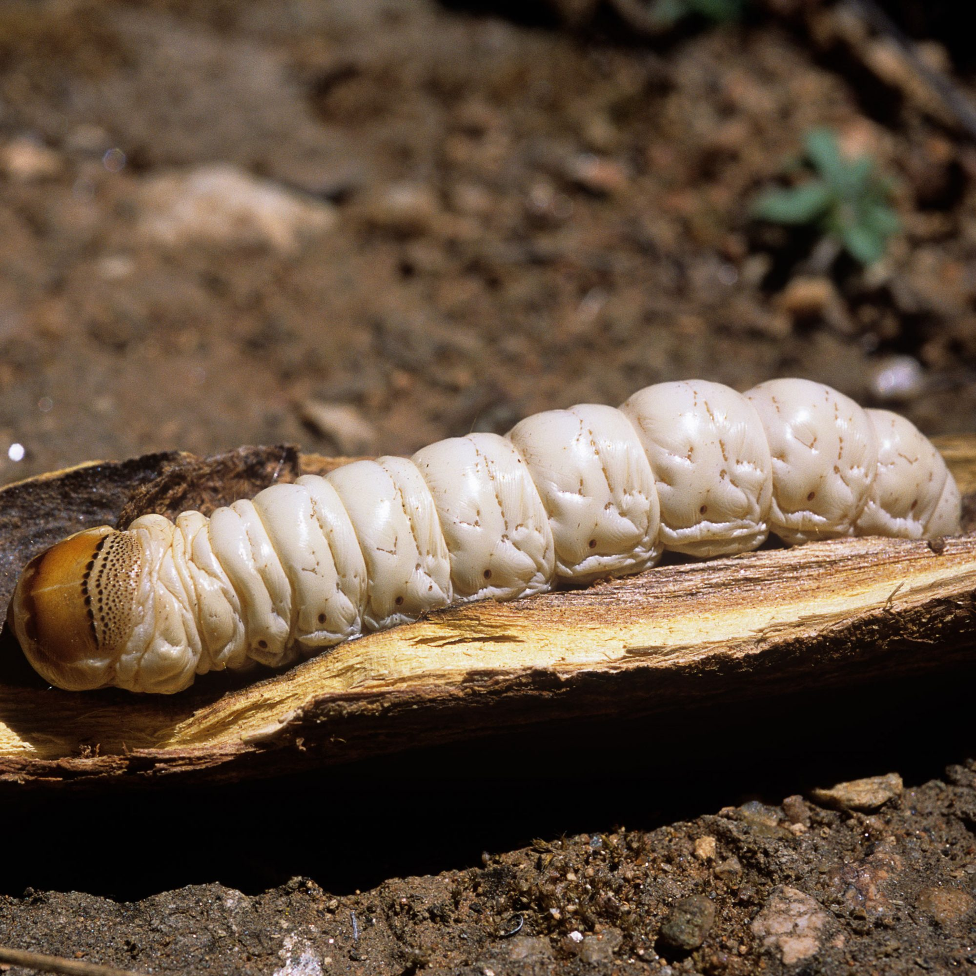 witchetty-grub-fwx