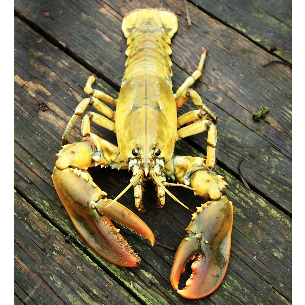 yellow lobster, lobster