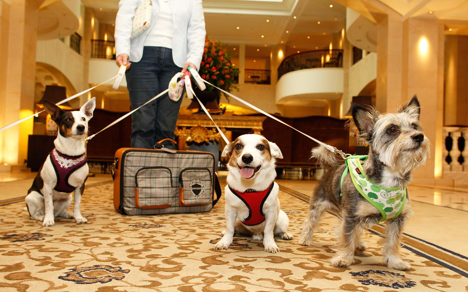 Dogs in a luxury hotel travel