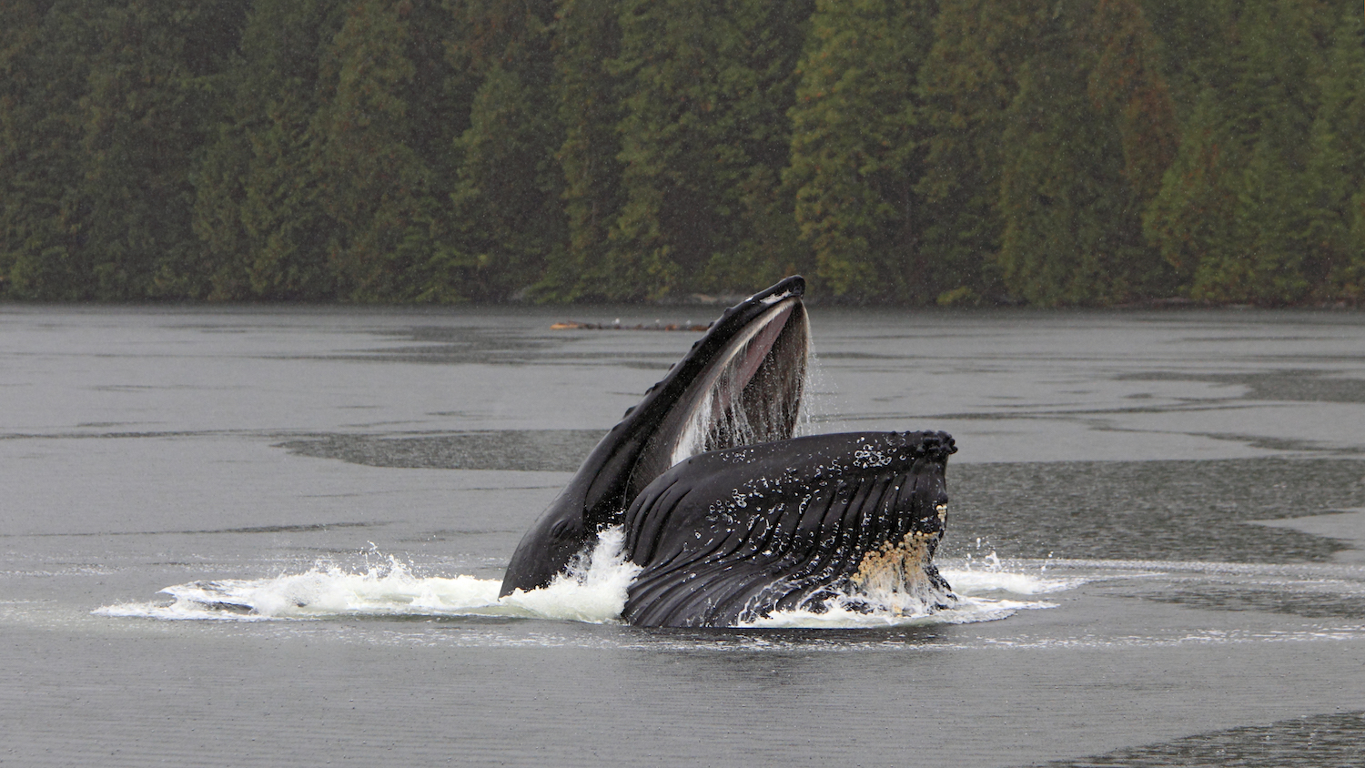 Humpback whales Alaska salmon hatcheries
