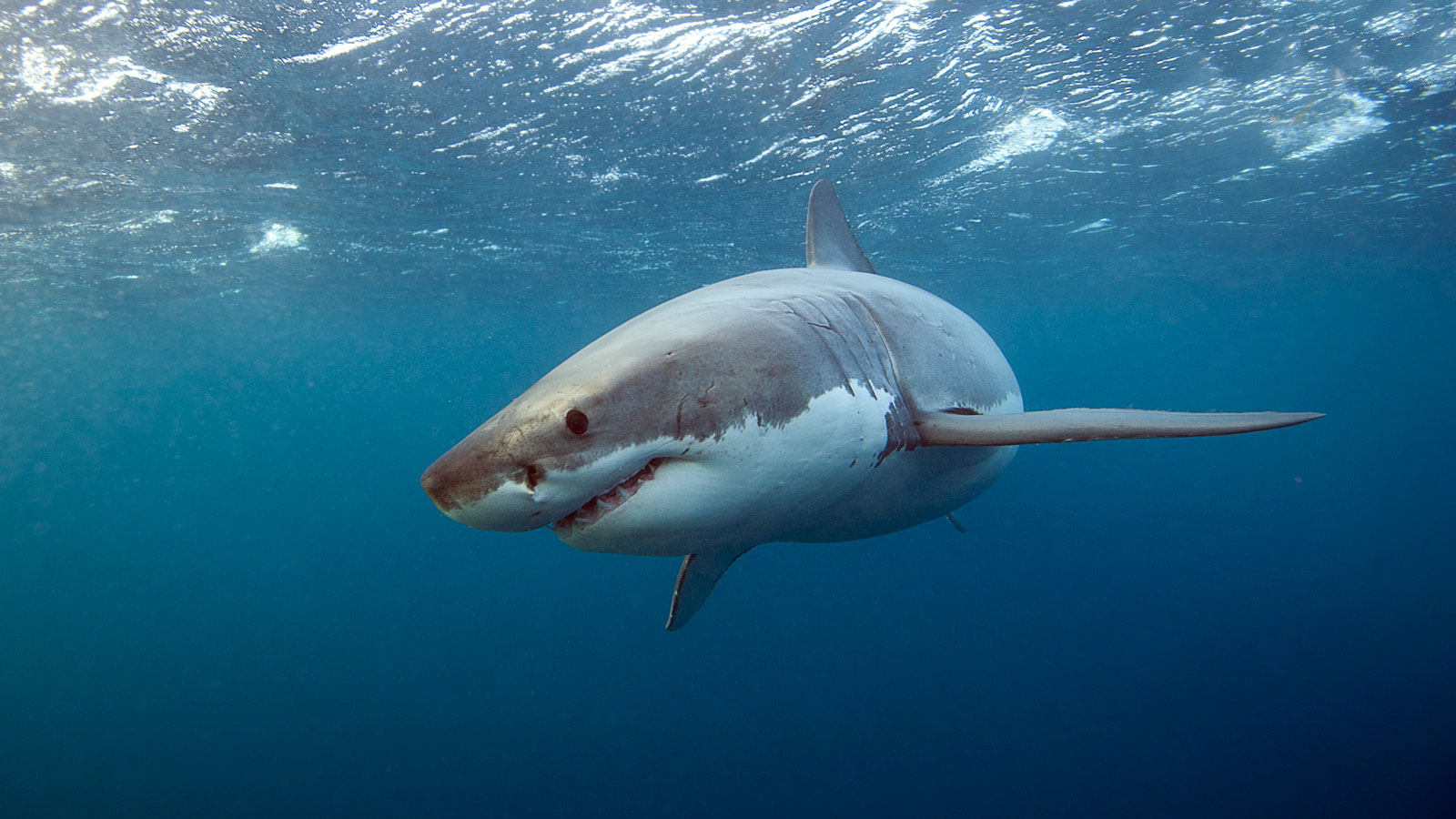 Everything you need to know about eating shark in the u s for Great white shark fishing