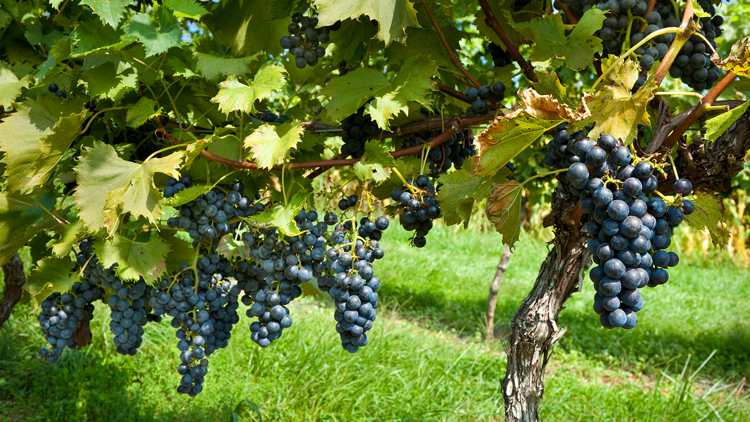 grapes in pennsylvania