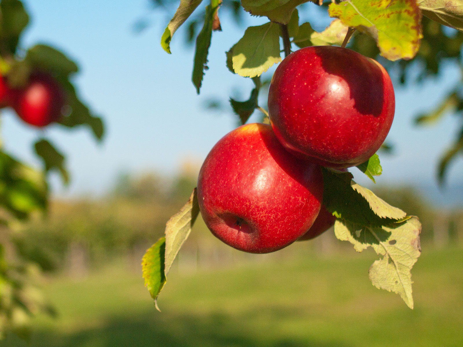 apples genetics from the silk road