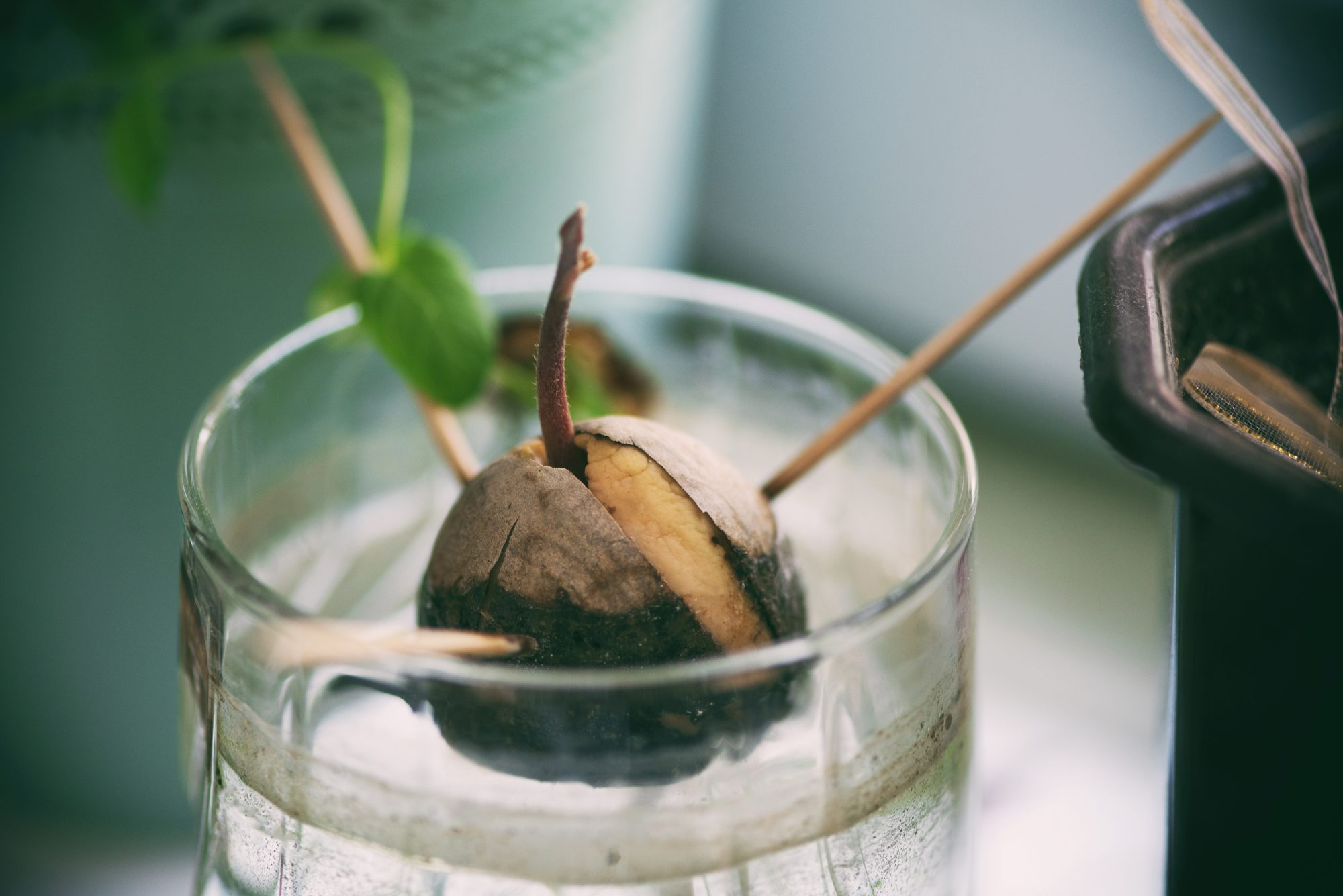 avocado-seed-hack-BLOG0817