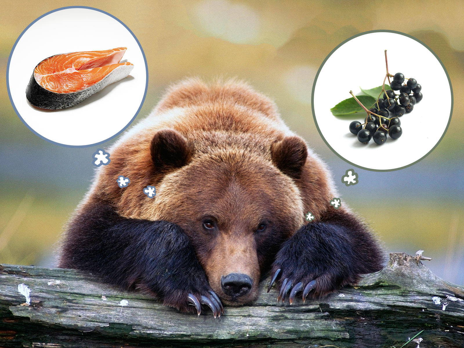 bears becoming vegetarian by eating elderberry instead of salmon