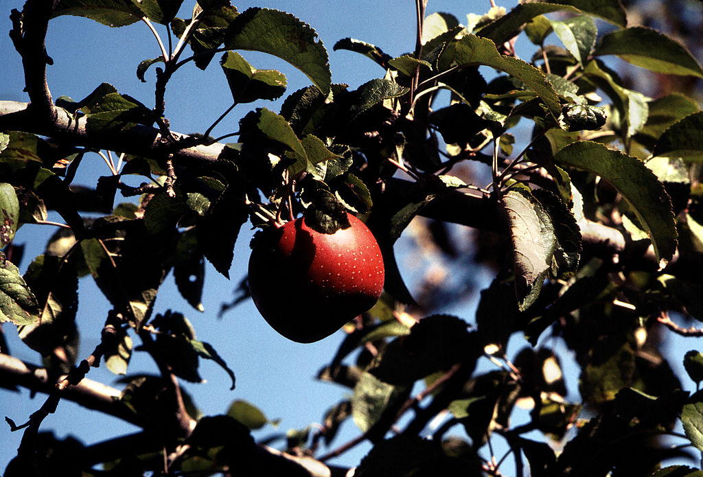 It's One of the Best Apples You'll Ever Taste—So Why Is Almost Nobody Growing It?