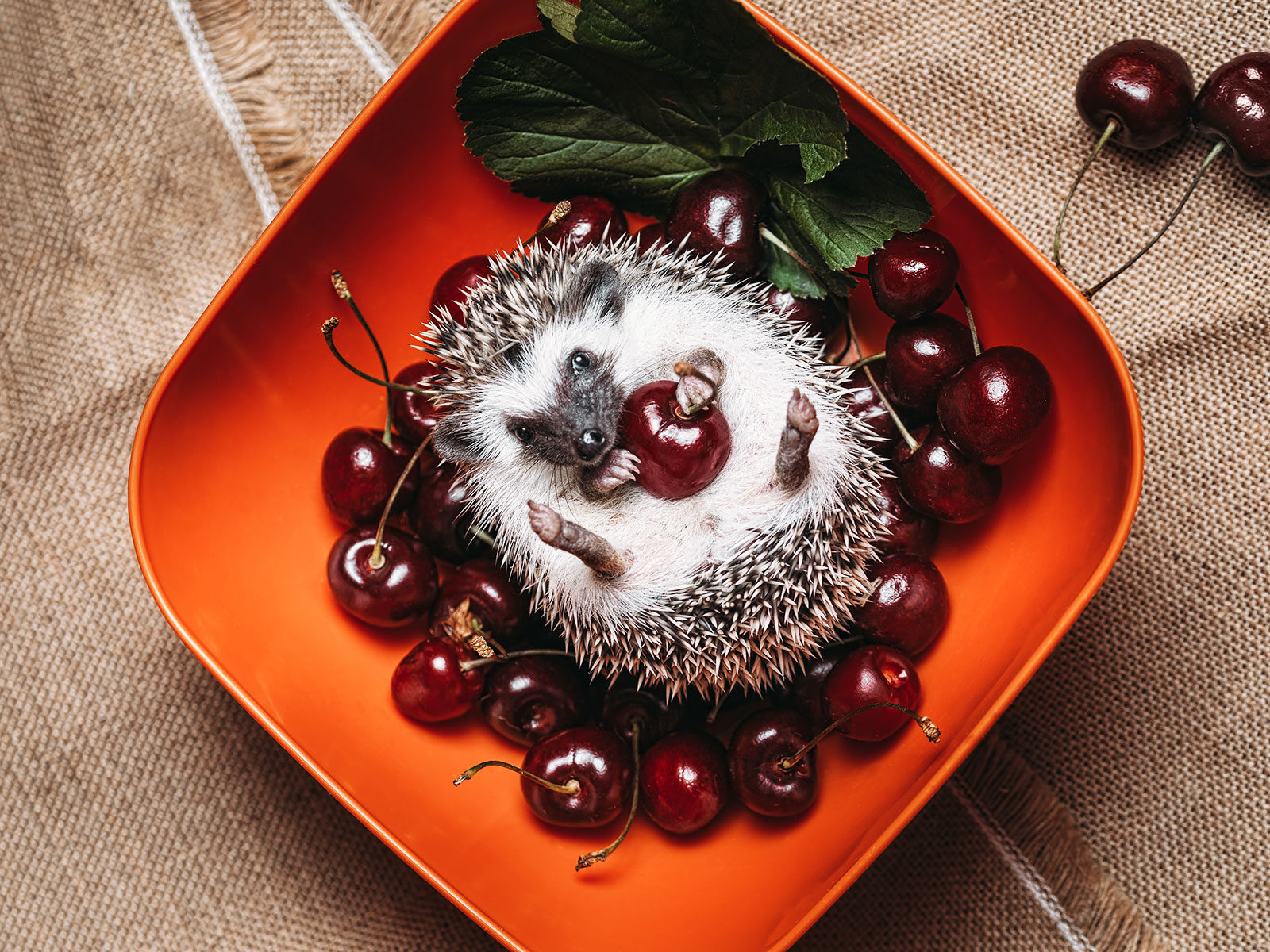 8 Photos That Prove Hedgehogs and Food Are the Winningest Combo