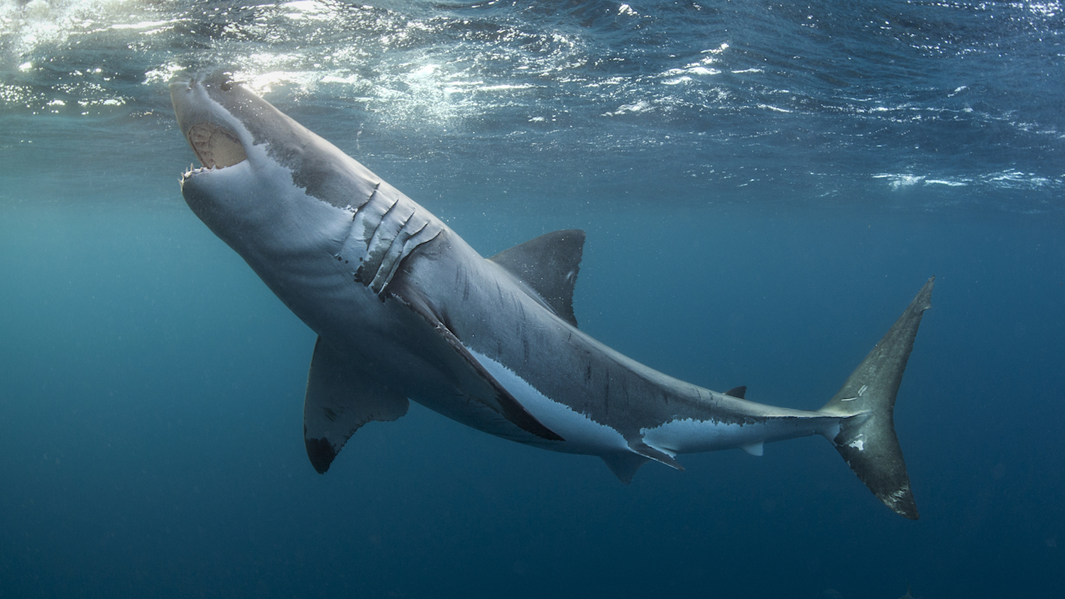 Great White Sharks Are Stealing Fish From Boston Fishermen