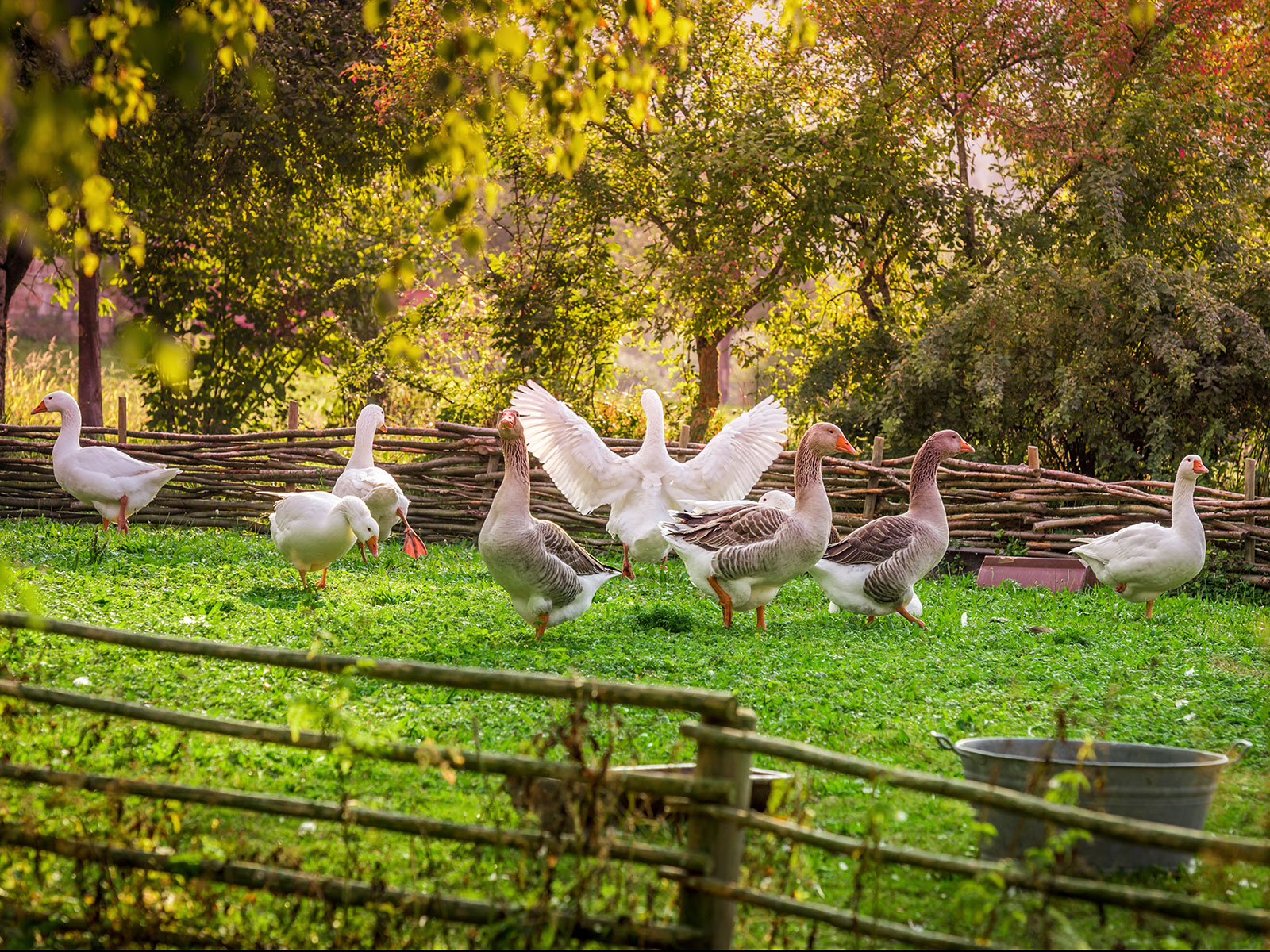 California's Foie Gras Ban Is Back On