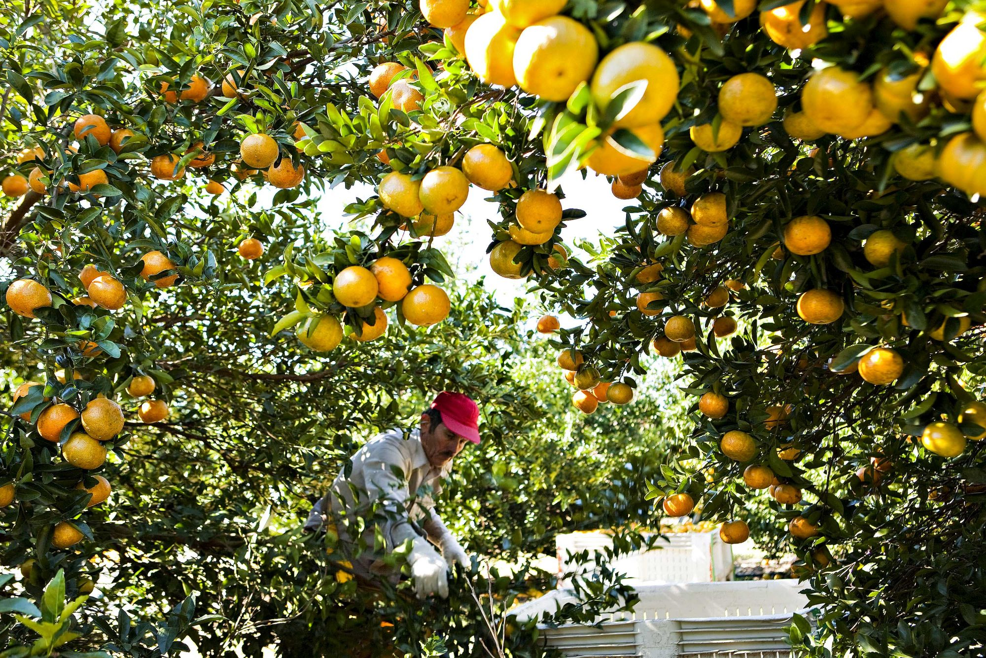 Orange Juice Futures Gain As Weather May Damage Citrus Crops