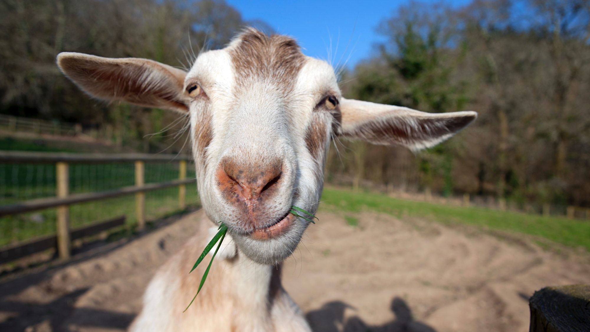 Is it possible to goat milk to children