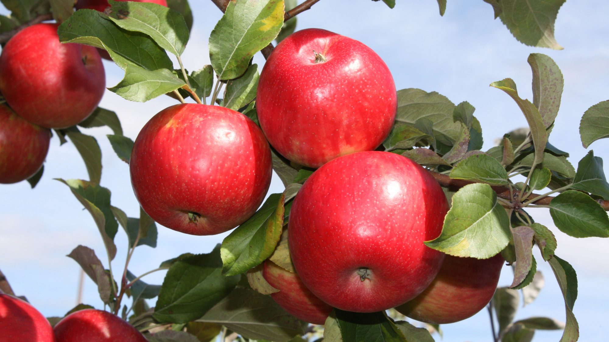 honeycrisp-pepin-heights-BLOG0917.jpg