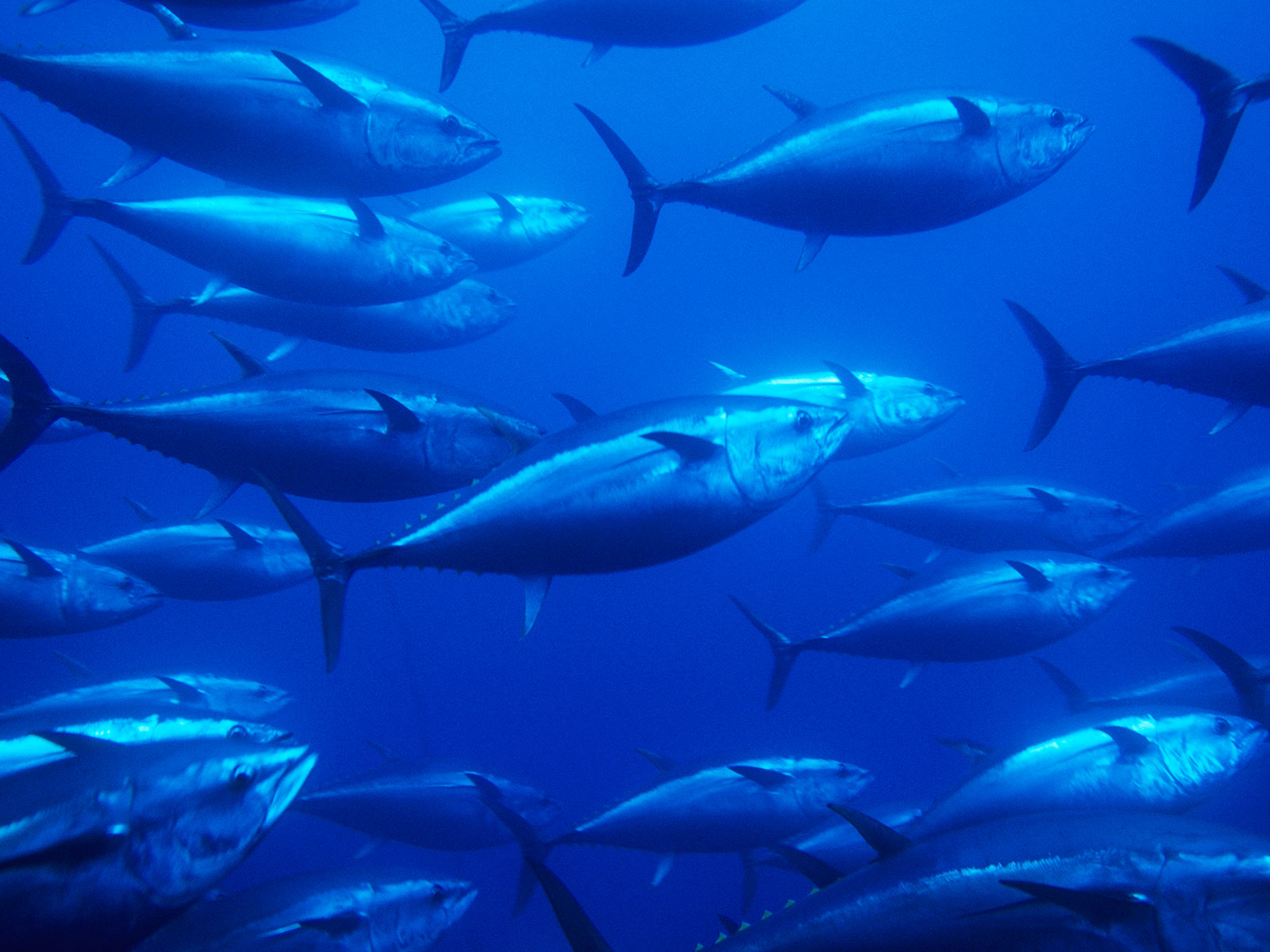 countries try to save bluefin tuna