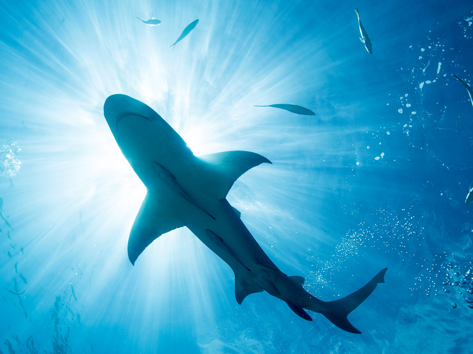 Could a Shark Fin Ban Actually Be Bad for Sharks?