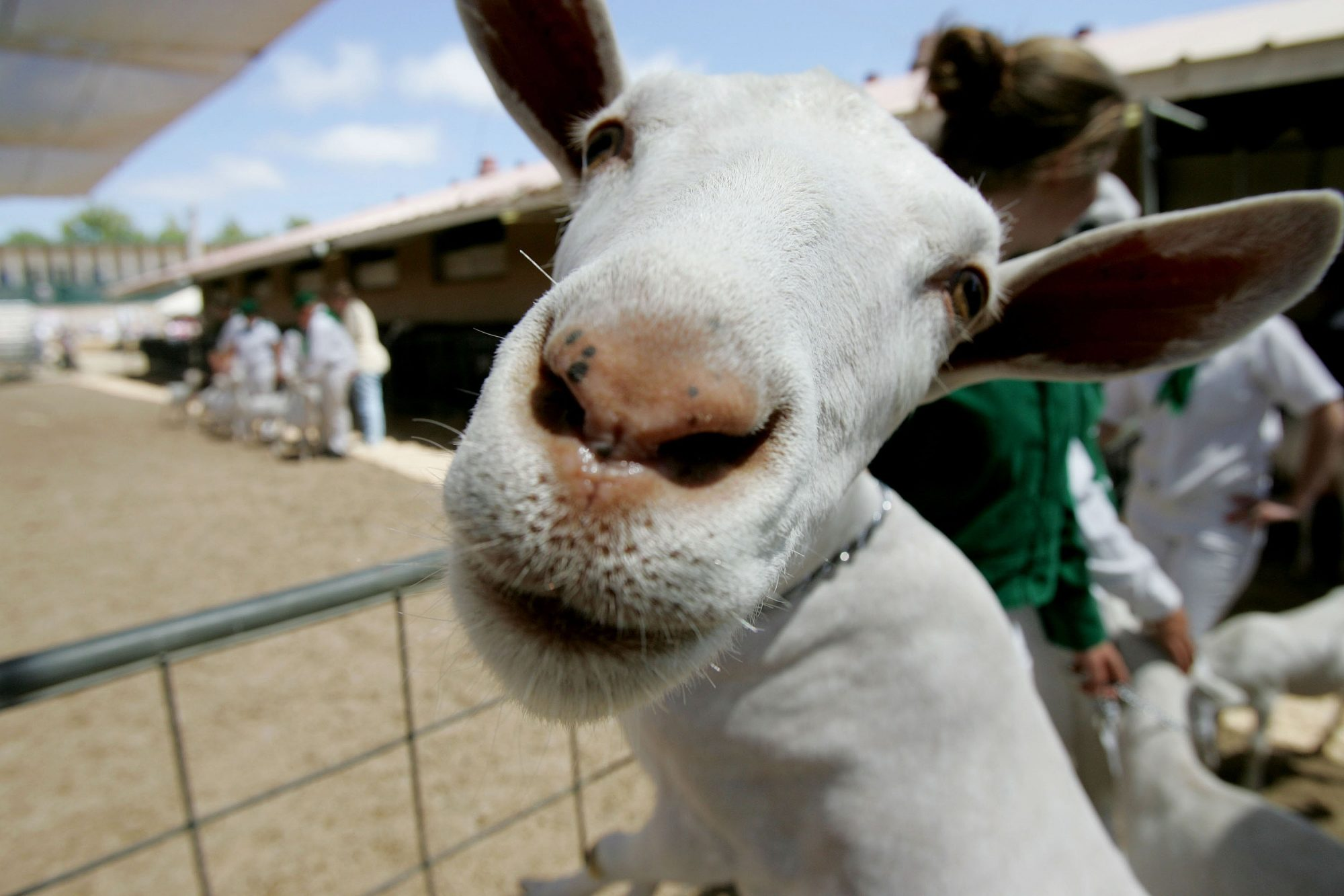 Sorry Folks, No More Emotional Support Goats on Alaska Airlines
