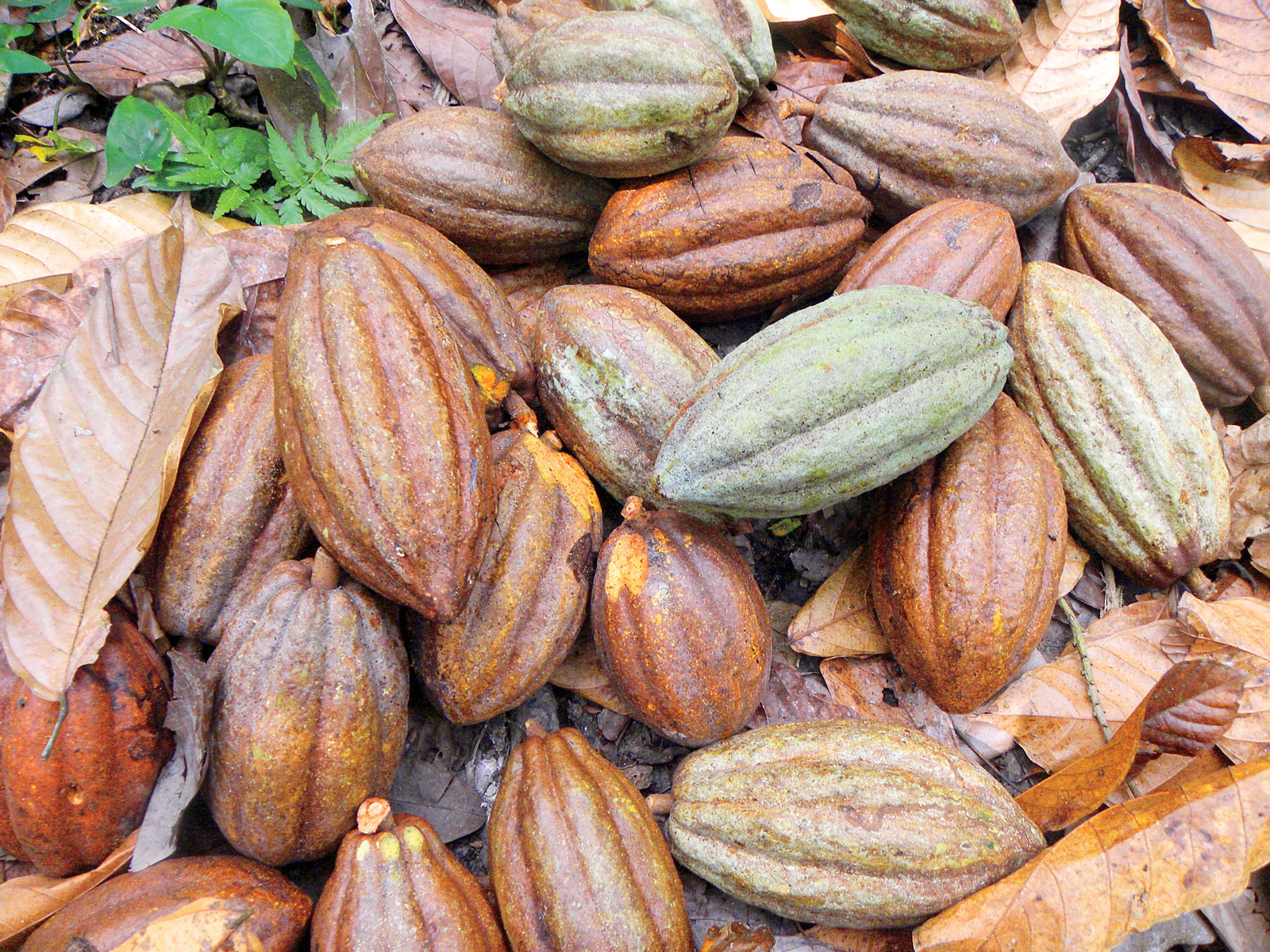 Rescuing Chocolate: How Cacao in Mexico is Being Reborn