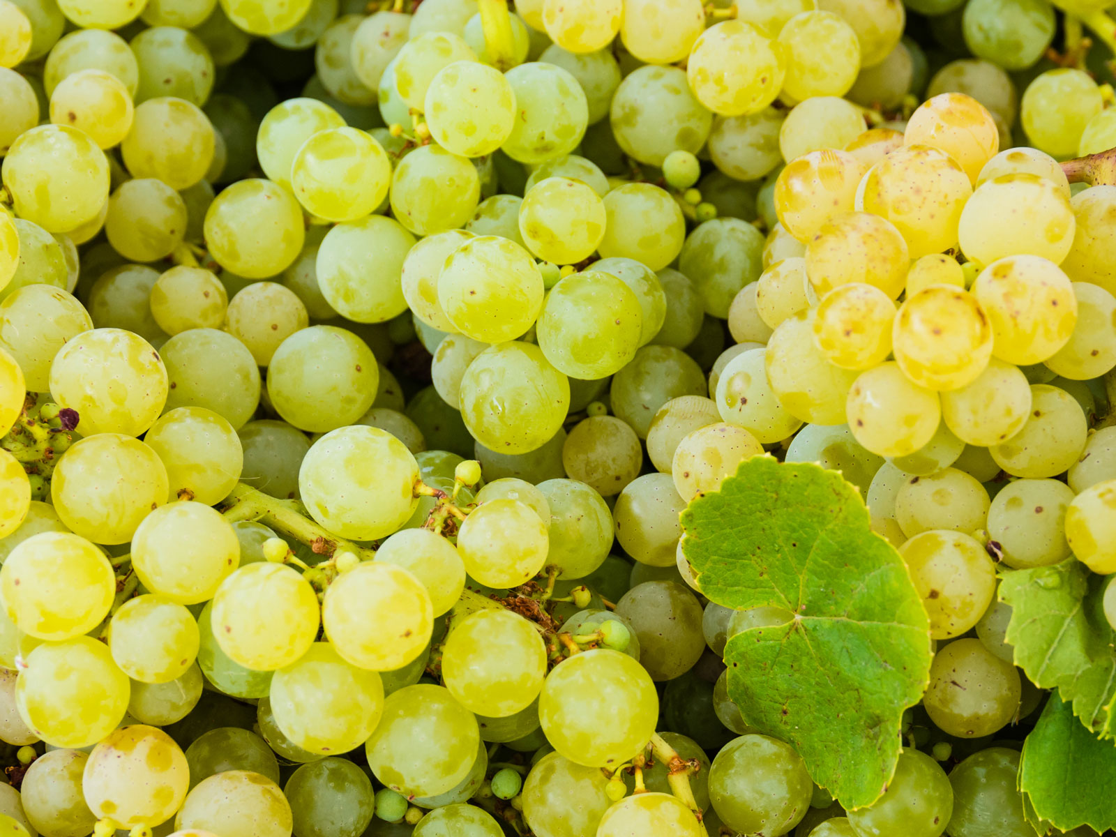welchs-wine-grapes-FT-BLOG0818.jpg