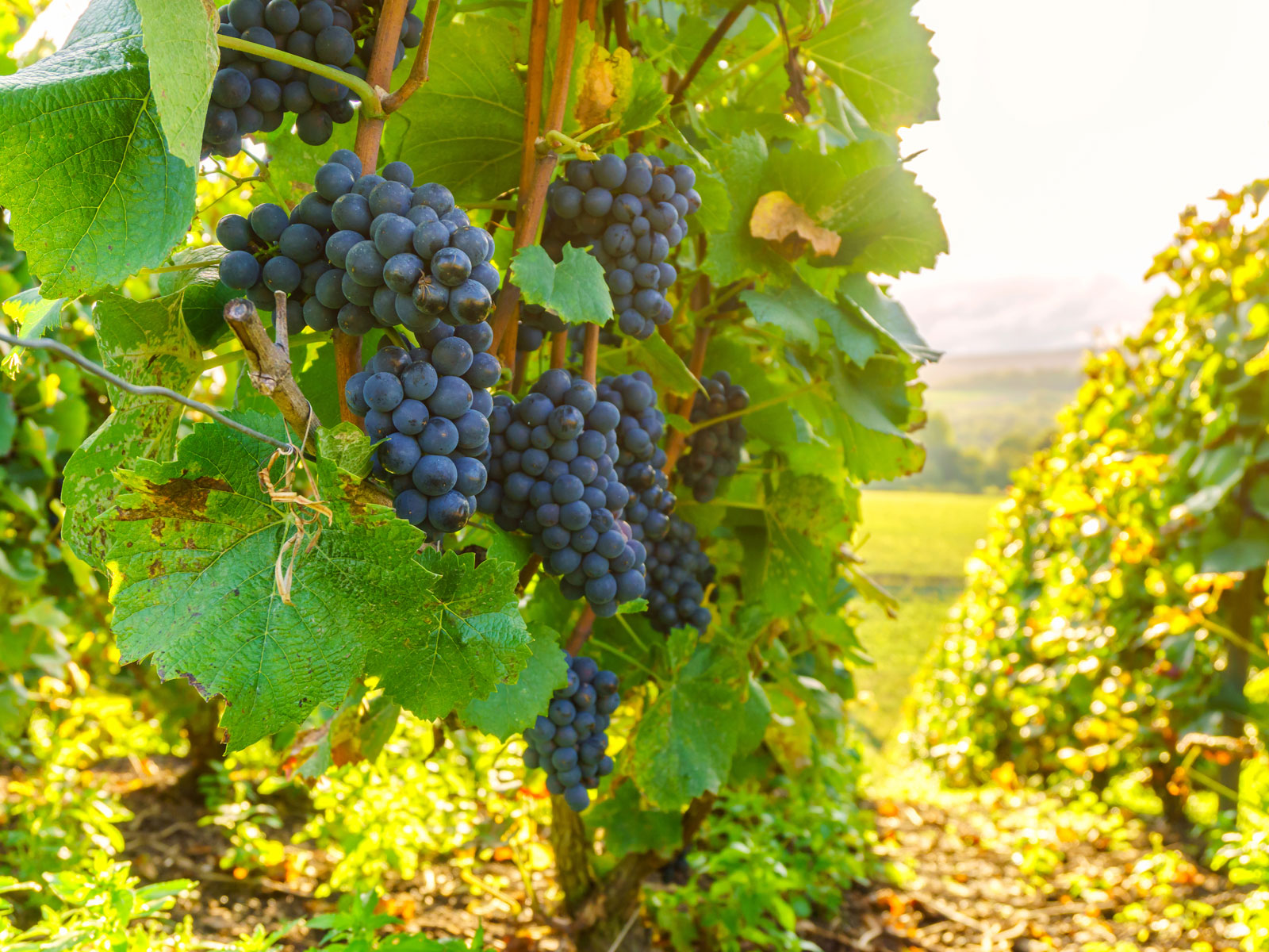 New Rot-Resistant 'Supergrapes' Could Reduce Pesticide Use, But Traditionalists Caution a 'Race to the Bottom'