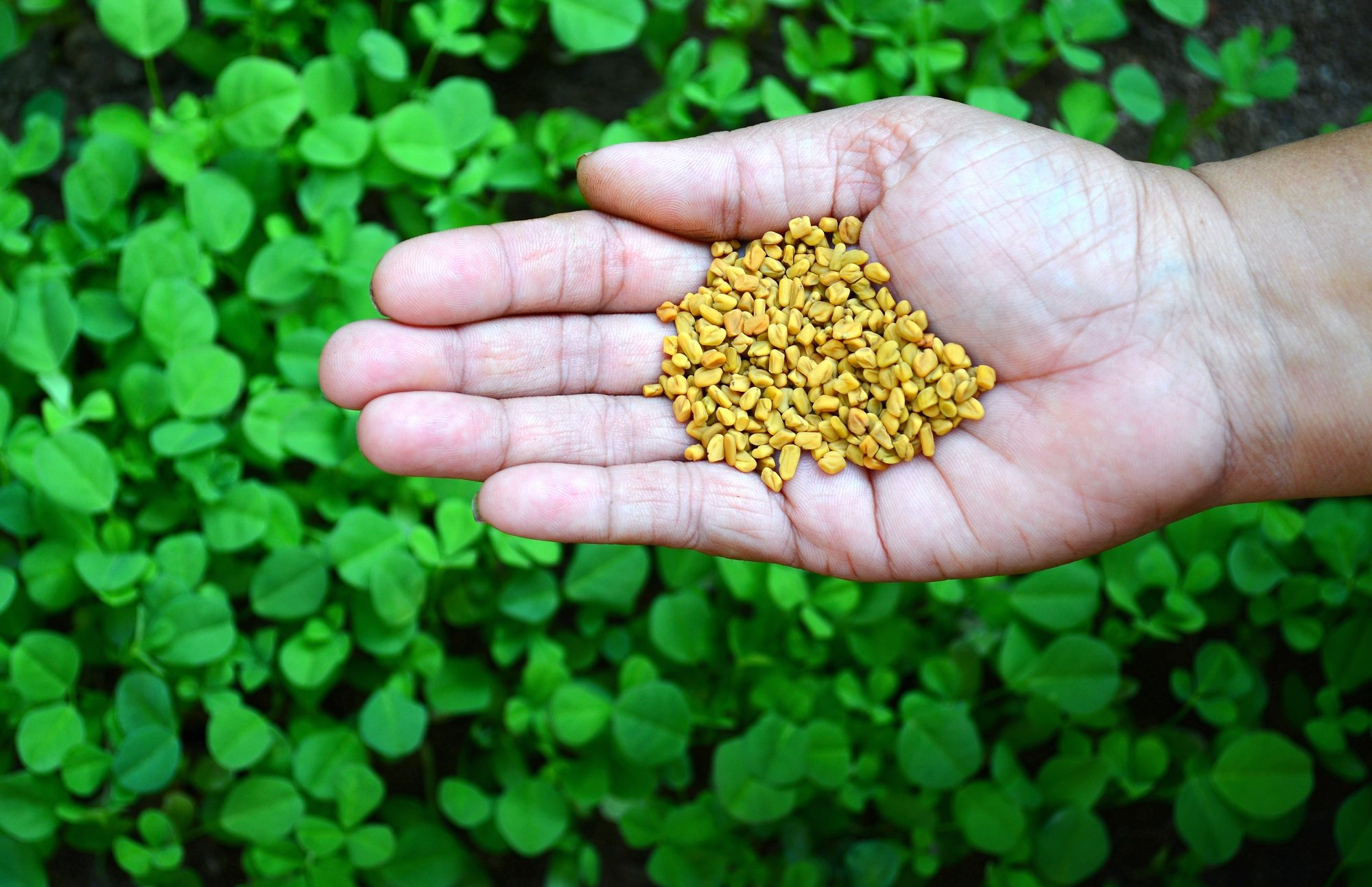 How to Use Fenugreek in Everything, According to Chef Chintan Padya