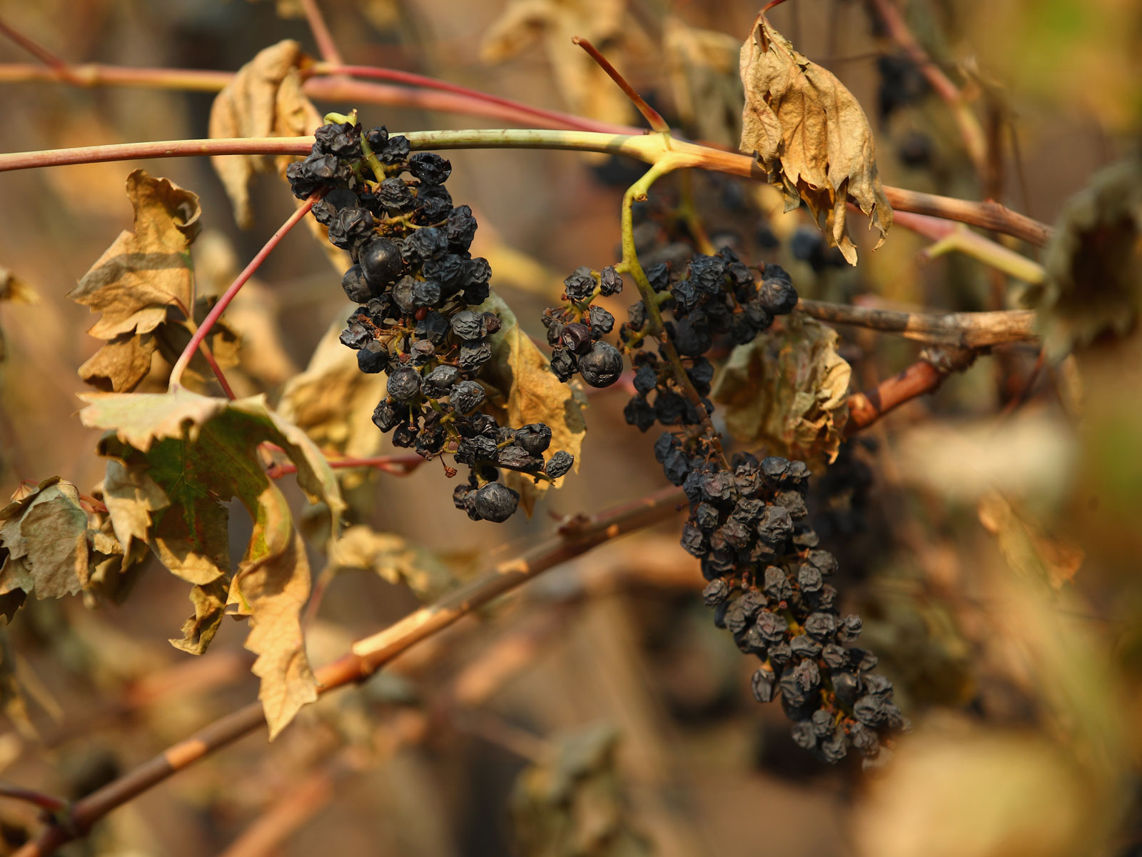 Wine Study to Focus on 'Smoke Taint' Caused by Wildfires