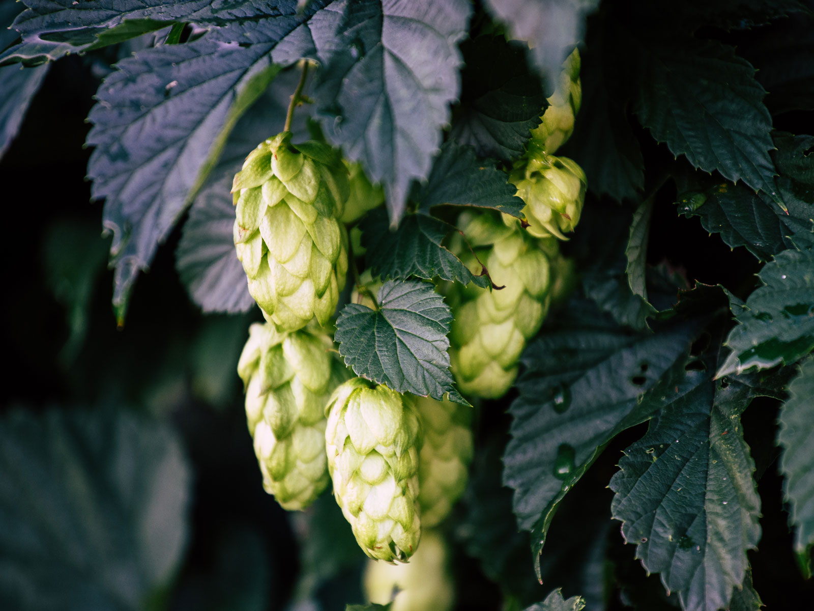 New Zealand Invests $8 Million to Develop 'Unique Kiwi Hops' for Beer