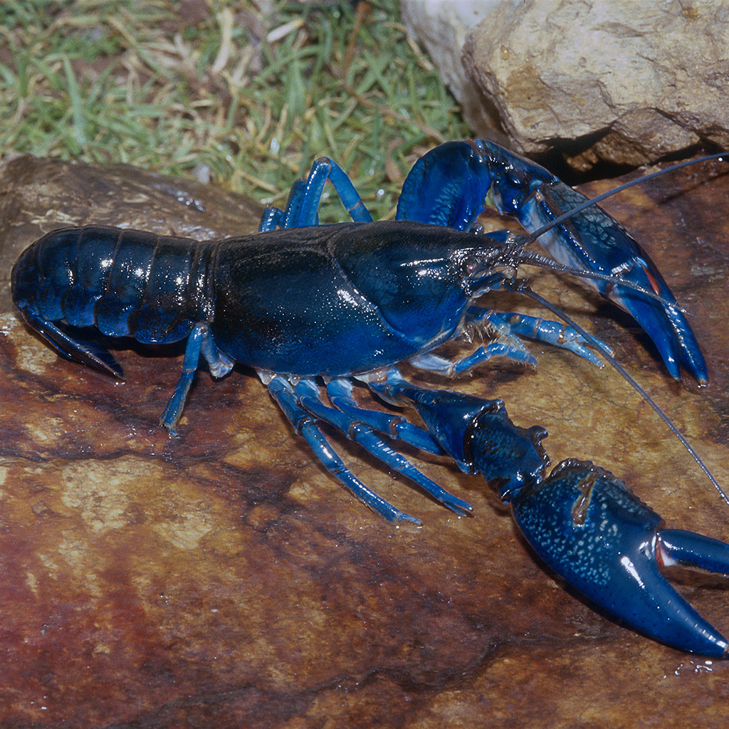 blue lobster, lobster