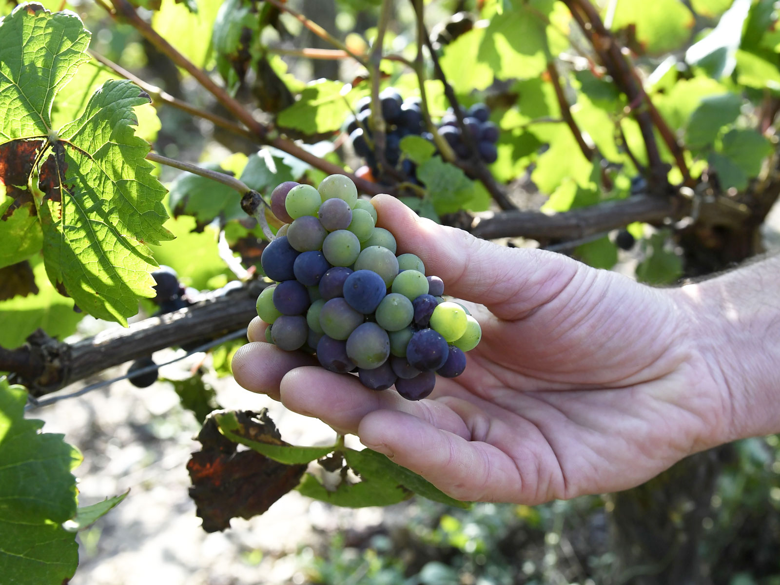 France Changes AOC Rules to Allow Grapes That Can Withstand Climate Change