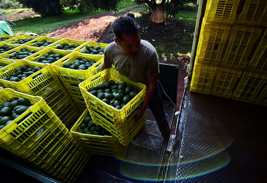 Mexican Avocado Workers Strike to Protest Shady Export Scheme