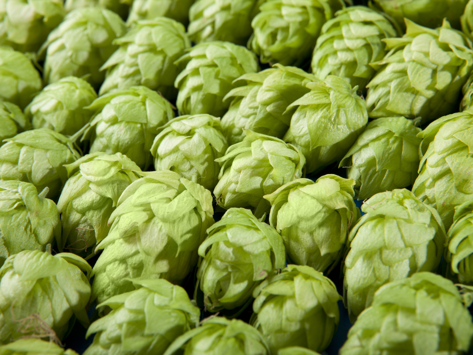 This Hydroponic Hop Farm Wants to Offer Fresh Hops for Beer All Year Long