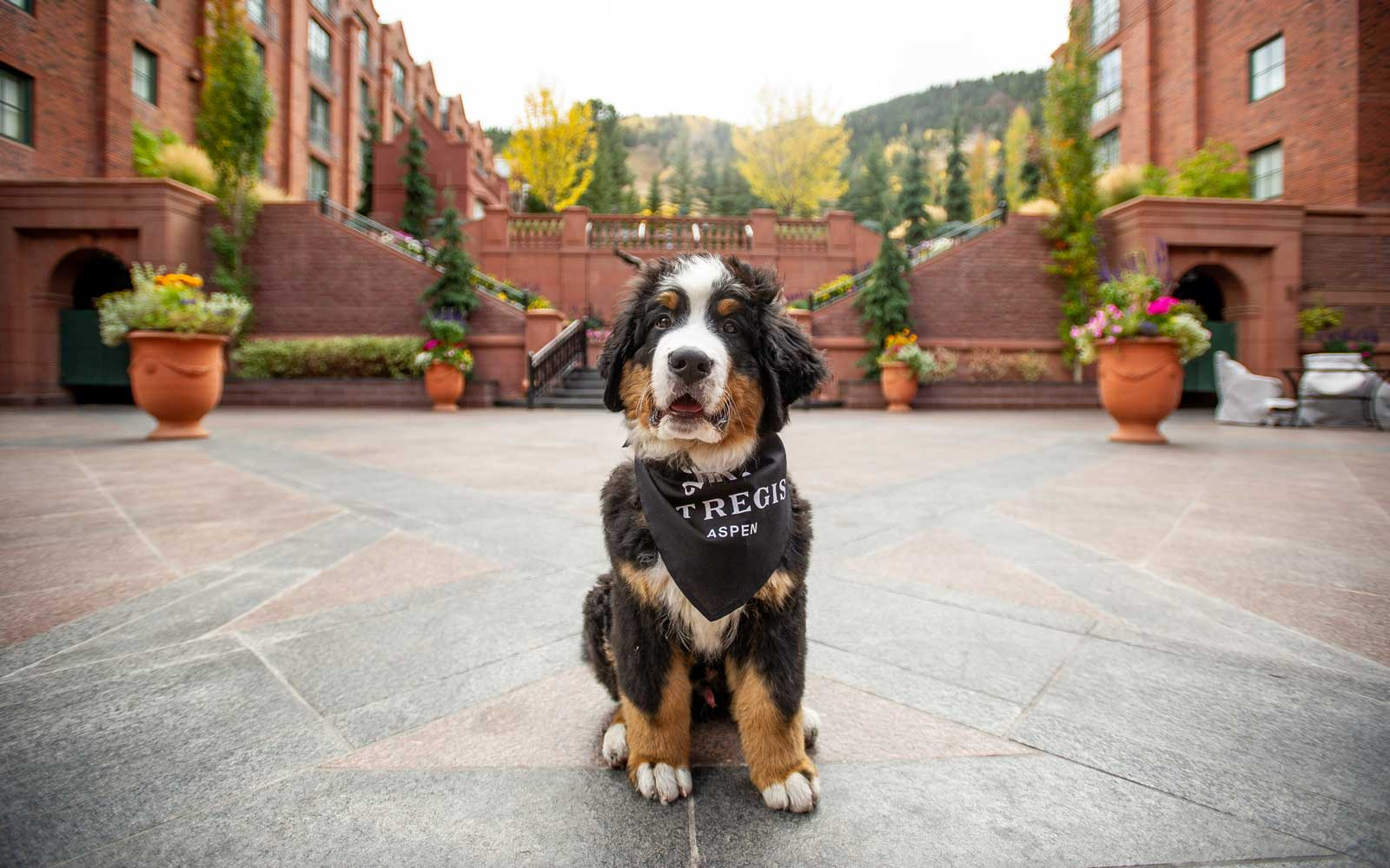 The St. Regis Aspen Got a Bernese Mountain Dog Puppy and His Instagram Is Truly Winter Magic