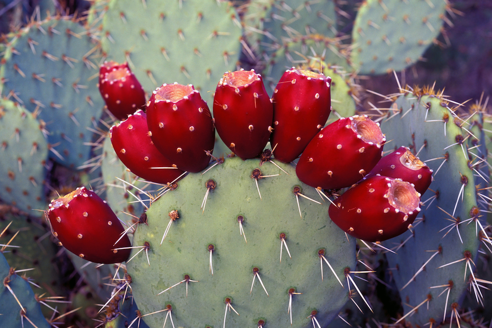 Prickly Pear Cocktails, No Prickly Pears Required