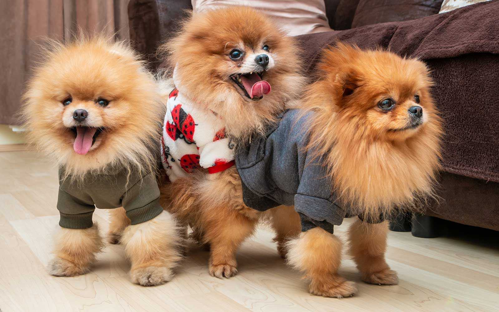 There's a Pomeranian Café Coming to London This May