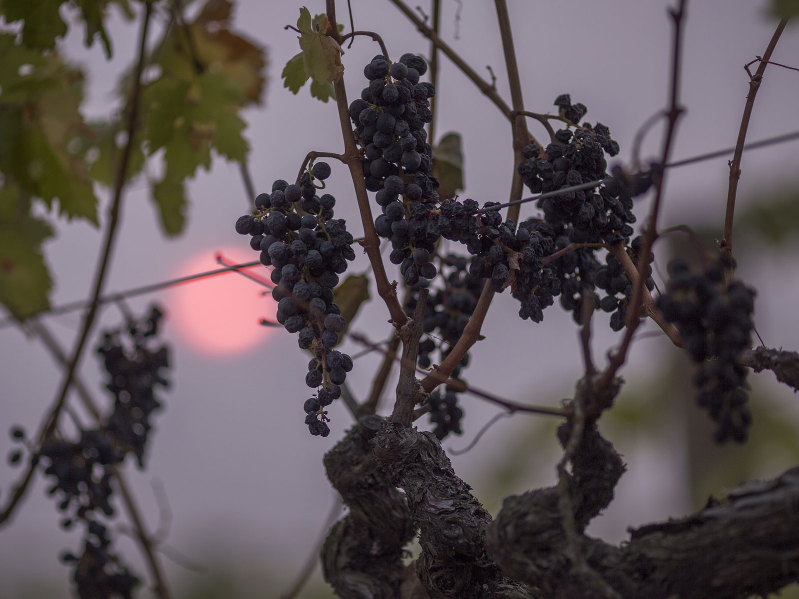 Oregon Solidarity Wines Bails Out (And Bottles) Smoke-Tainted Grapes