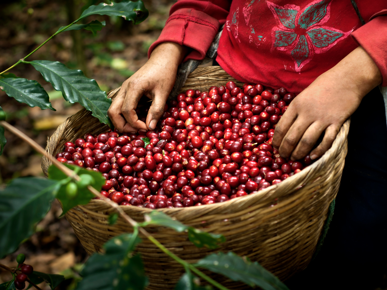 Why Coffee Berries Could Be Worth Even More Than the Beans