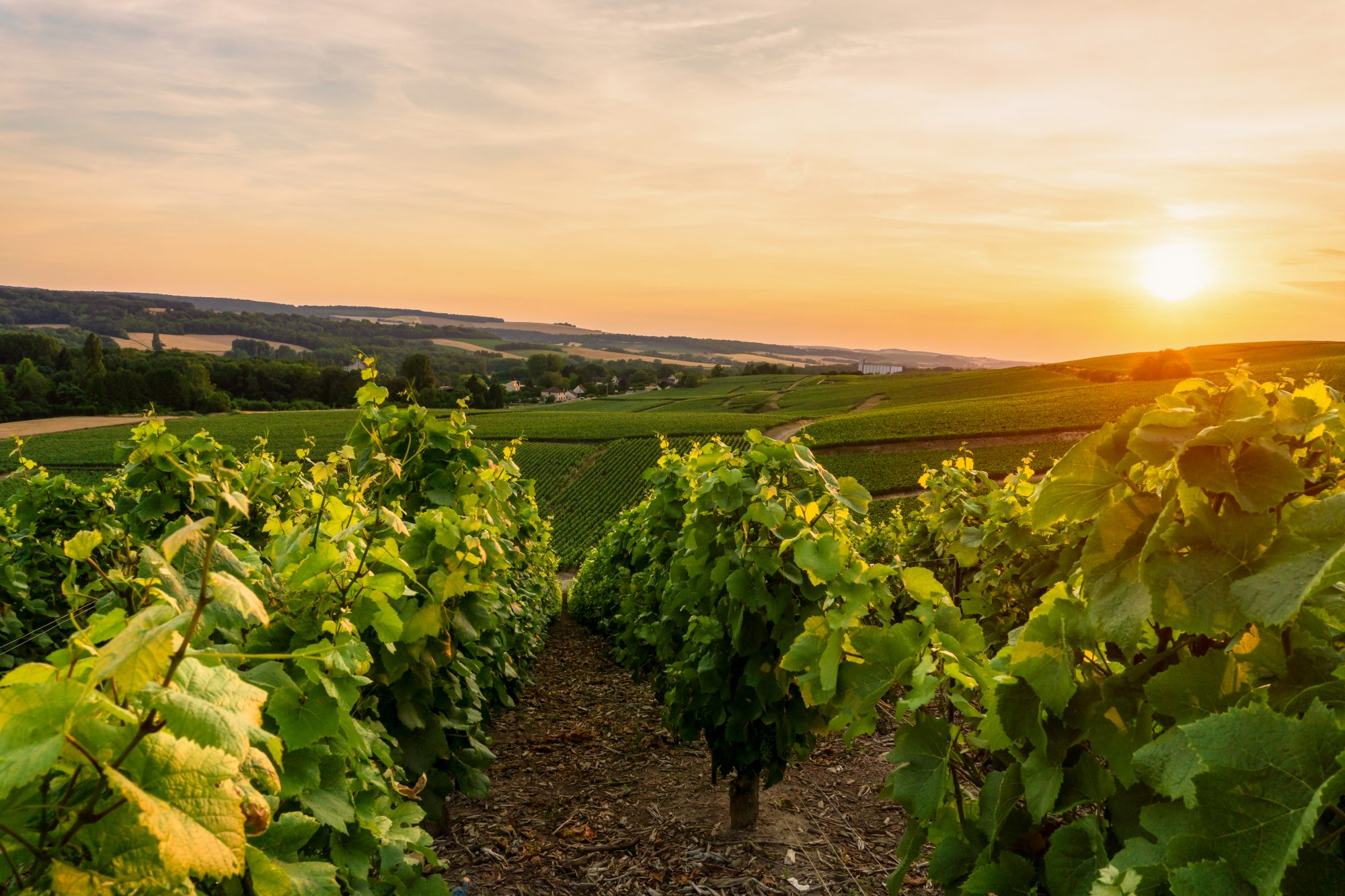 How Cool Climate Wine Regions Are Dealing with Climate Change