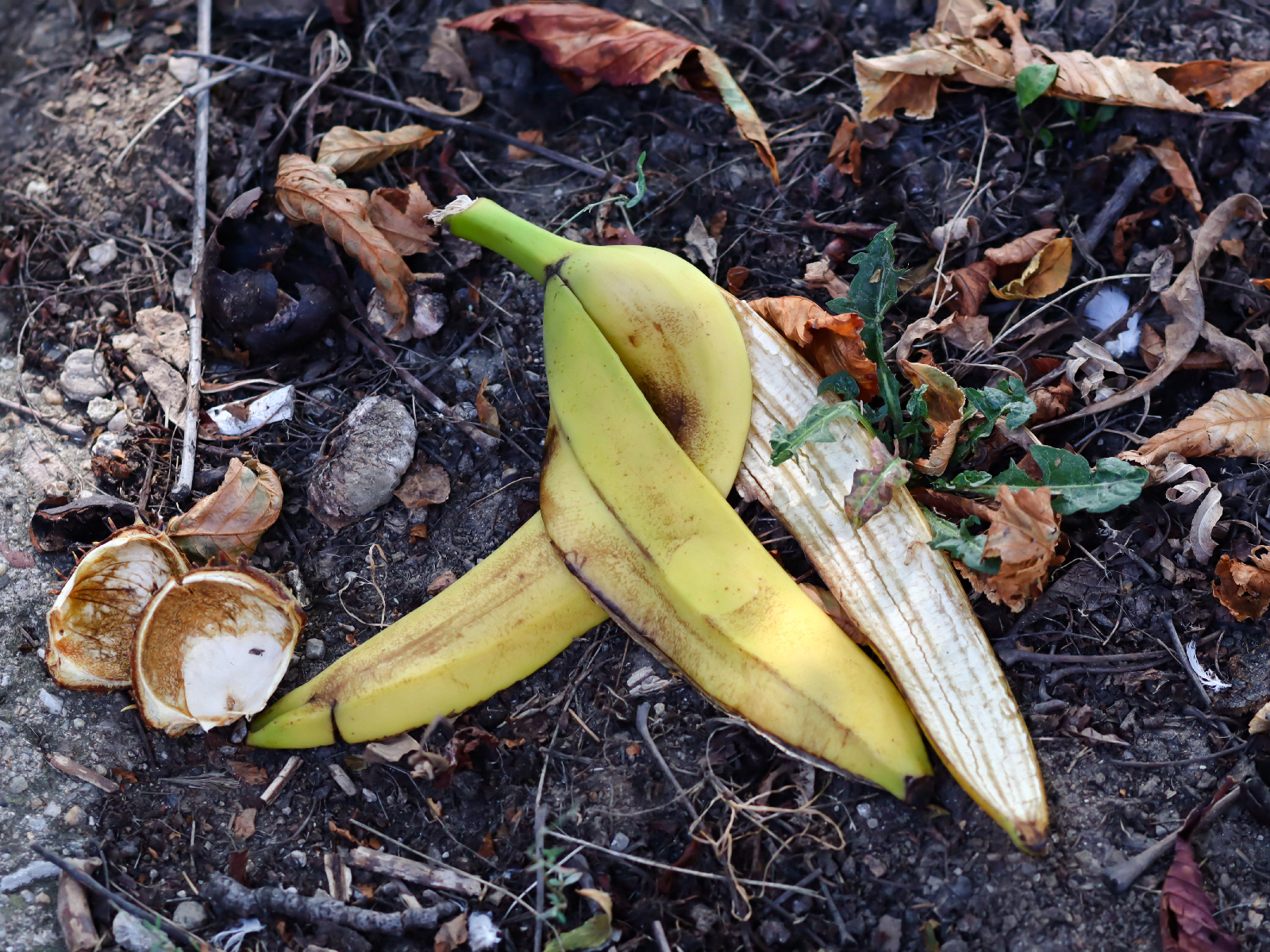 No Joke: Throwing a Banana Peel on the Ground Isn't a Good Idea... Even in Nature
