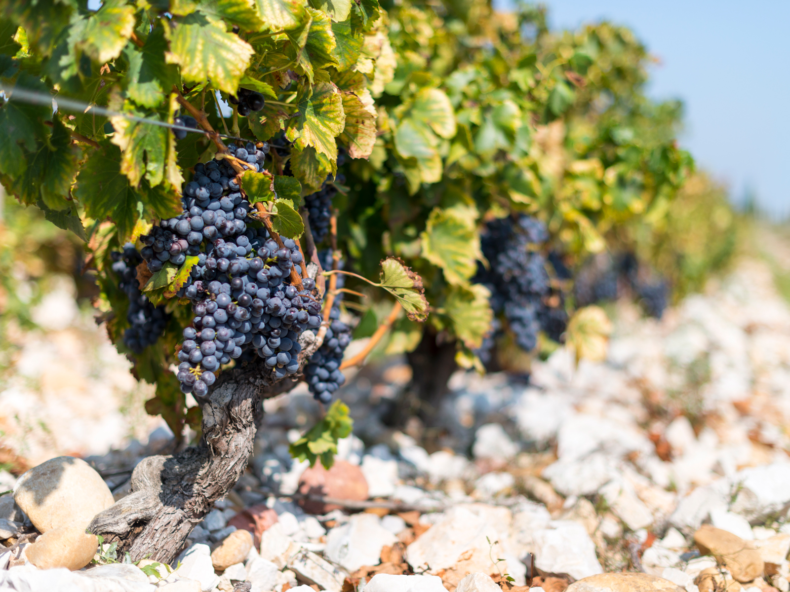 Climate Change Could Affect How Chateauneuf-du-Pape Is Made